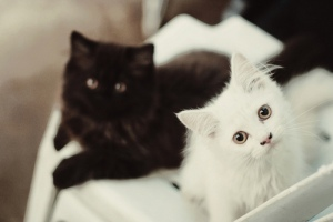 black-cat-pet-white-Favim.com-168987